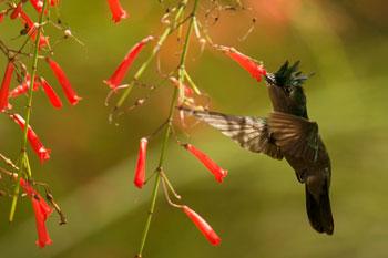lesser antillean hummingbird