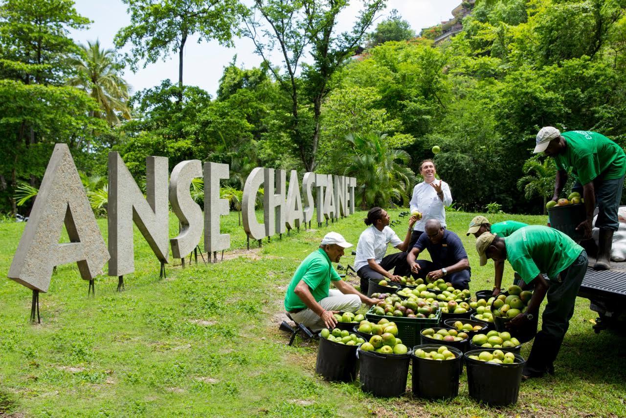 Mango Harvest Anse Chastanet